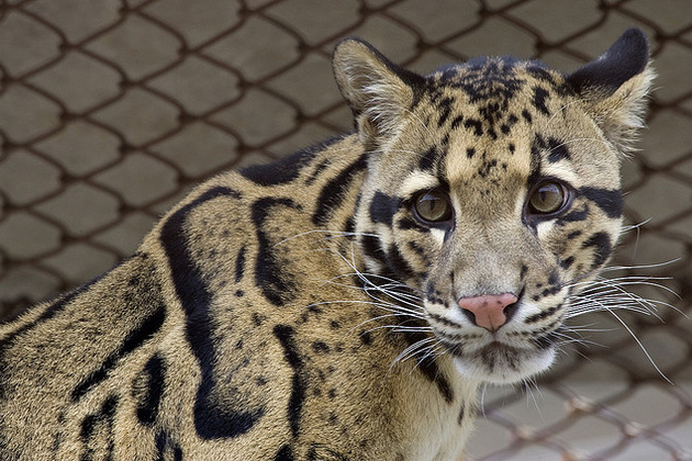 Formosan clouded leopard - 158.1KB