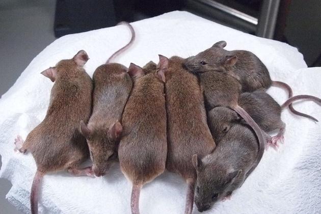 Ratas clonadas